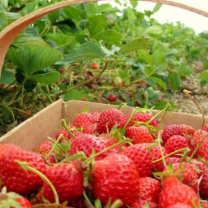 Kebun Strawberry