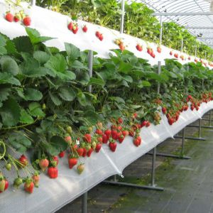 Lembang Strawberry Farm